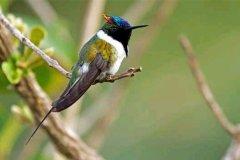 振翅频率最高的鸟类:角蜂鸟,每秒可扇动翅膀90次
