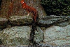 世界上羽毛最长的鸟:长尾鸡,尾巴比身体长4倍(长12.5米)