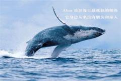 世界上最孤独的鲸鱼:alice鲸鱼还活着吗