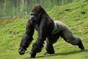 世界上体型最大的猩猩,大猩猩体重210公斤/比利猿身高2.4米