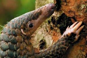 世界上牙齿最少的动物,穿山甲(胃里存留小石子/代替牙齿磨食物