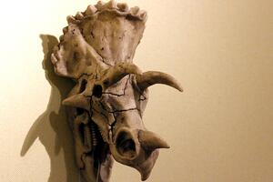 三角龙头骨有多硬,角能轻易刺穿霸王龙(头骨占身体1/3)