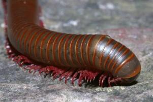 世界上腿最多的动物,千足虫有750条腿(身长只有3厘米)