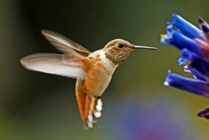 世界上最小的鸟排名,蜂鸟最轻只有2克/阔嘴鸟身长7厘米
