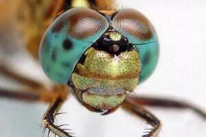 世界上眼睛最多的动物,蜻蜓有5.6万只眼睛(捕捉小虫百发百中)