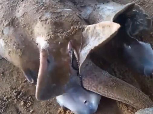 男子捕获孕育幼崽的母蝠鲼让人难以置信