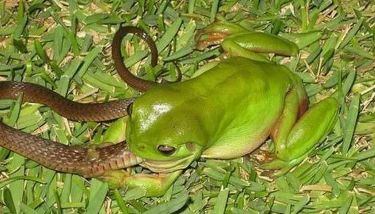 """你见过""""烟蛙吃蛇""""吗?"""