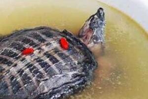 中国十大禁菜之铁板甲鱼,沸水煮鳖享受折磨的乐趣(变态至极)