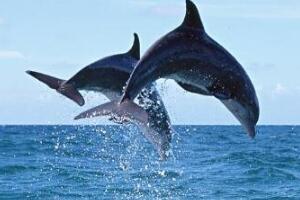 全面解析海豚之谜,人类最好的朋友(海豚有两个大脑)