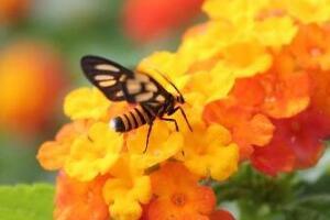 科学解析蜜蜂的飞行之谜,腹部有特殊运动能力支撑飞行