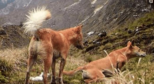 全世界最古老全世界最古老野狗---新几内亚高地野狗