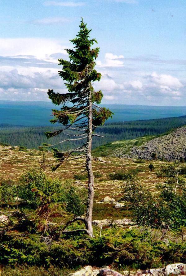 一棵树木到底可以活多久?人类发现最古老的树木竟然已经9500岁