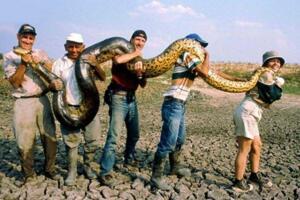 世界上最大的蛇类,亚马逊森蚺(体长10米捕食鳄鱼)