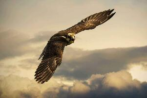 盘点世界上最大的鹰,阿根廷巨鸟(翼展7米重70公斤)