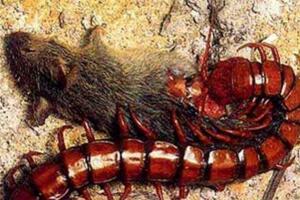 世界第二大蜈蚣,秘鲁巨人蜈蚣体长42厘米(能捕食蝙蝠)