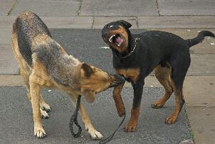 狗不吃狗肉科学解释,狗分泌唾液产生反逆素所以不吃