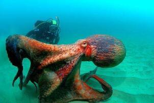 世界上最大的章鱼,北太平洋巨型章鱼(554斤/9.8米)