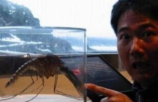 世界上最大的蚊子,金腹巨蚊长达40cm(不吸血专吃昆虫)