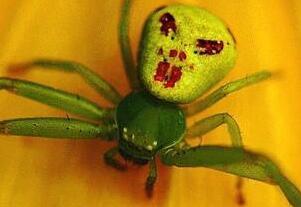世界上最诡异的人面蜘蛛,背部花纹酷似人脸(细思极恐)
