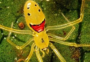 世界上最罕见的笑脸蜘蛛,每张笑脸都是独一无二的(奇葩)