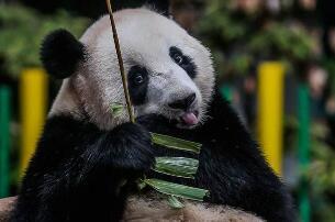 欧洲发现1000万年大熊猫化石,验证大熊猫祖先在欧洲