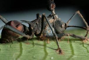 世界上最古老的僵尸蚂蚁,被4800万年前真菌侵蚀大脑致死