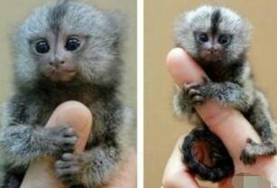 世界上最小的猴子,指猴(体长12厘米仅人的手指那么长)