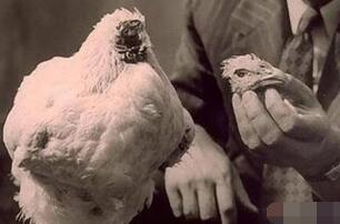 世界上最坚强的无头鸡麦克,被斩掉头部依旧生存18个月