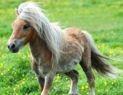 世界上最矮的马,迷你马出生太小能装进口袋