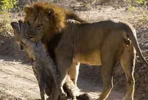 狮子为什么不吃鬣狗,对鬣狗恨之入骨(杀死是为了报复)
