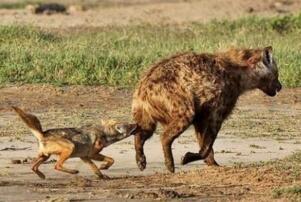 鬣狗掏肛猎物为啥不跑,肛部被撕裂太疼不敢动