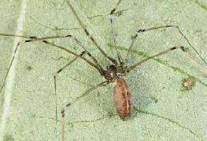 蜘蛛界的大长腿幽灵蛛,捕食昆虫是人类的好朋友(无毒)