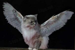 世界上真的有天使猫吗?天使猫背部长翅膀引围观(变异)