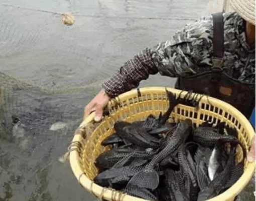 连吃货都搞不定的鱼类 它是水里的独一家